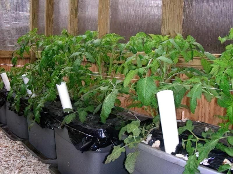 Чим потрібно полити розсаду помідор, щоб росли міцними 3
