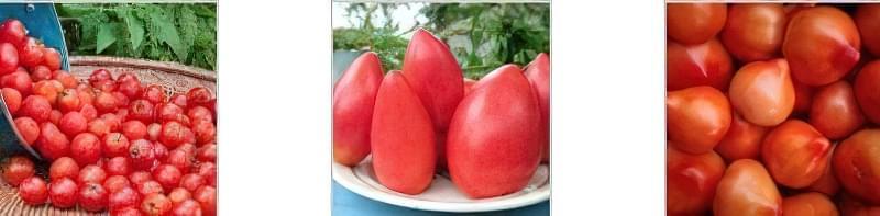Чим потрібно полити розсаду помідор, щоб росли міцними 4