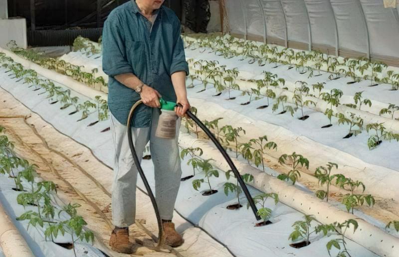 Кореневе підживлення томатів у теплиці