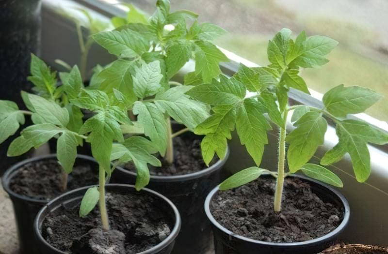 Чим потрібно полити розсаду помідор, щоб росли міцними 1