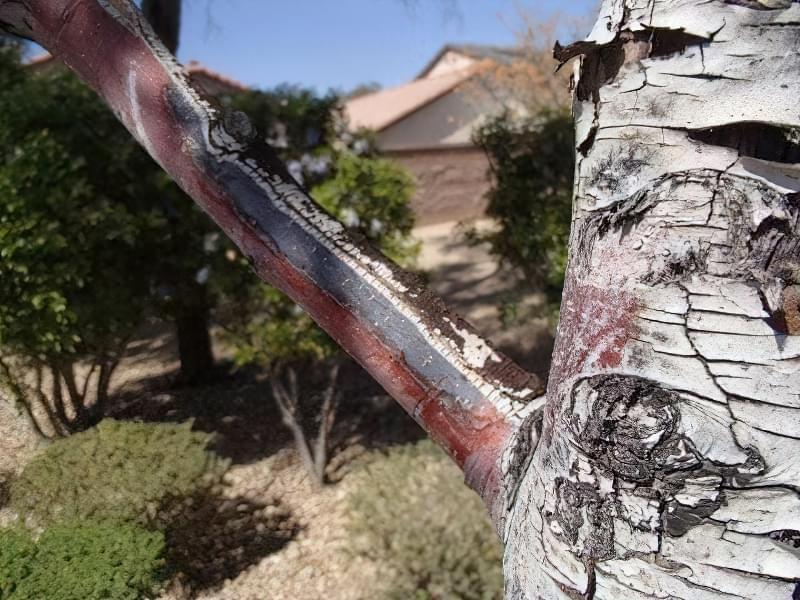 Лікування дерев — тріщини, морозобоїни і дупла 1