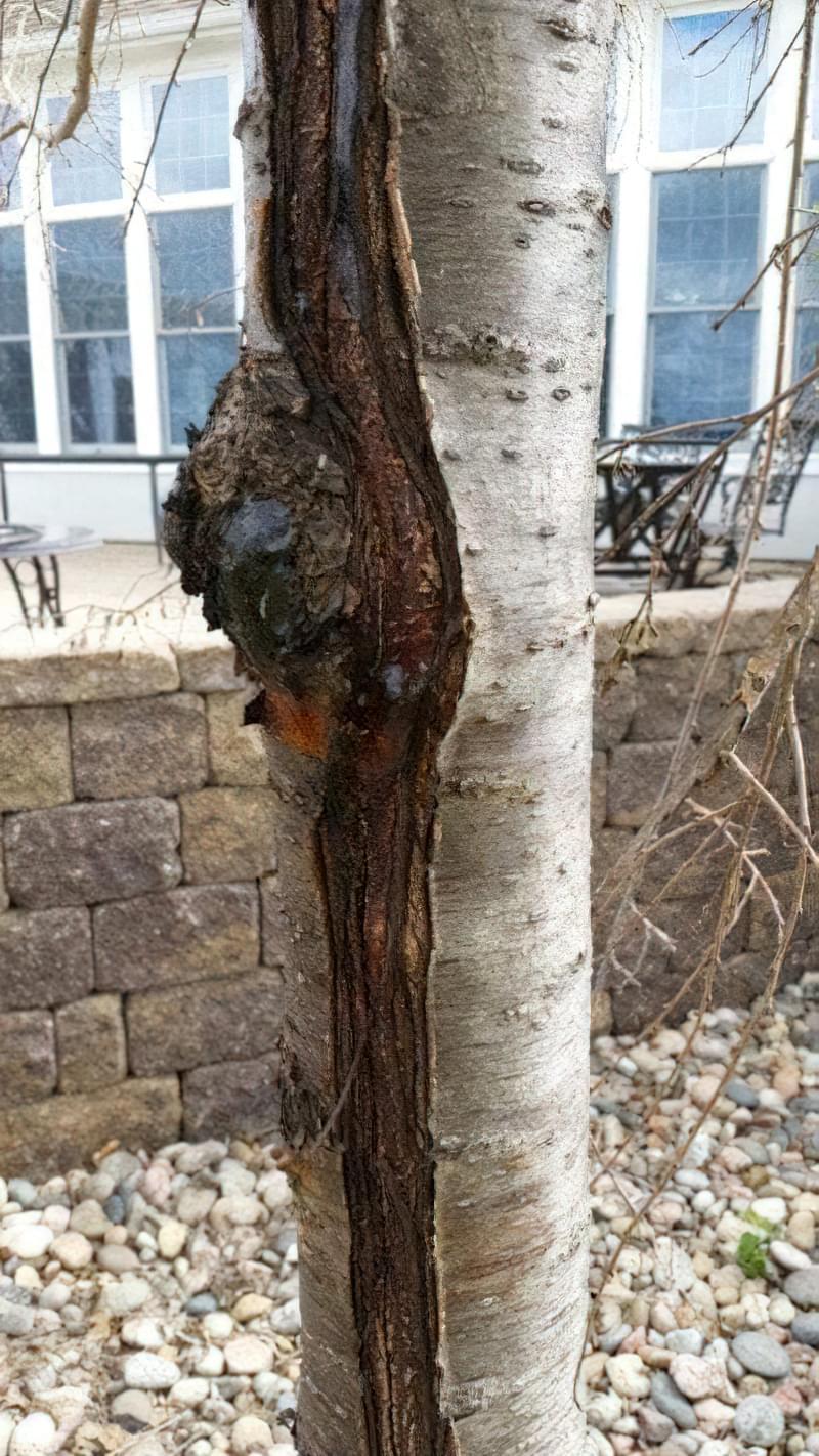 Лікування дерев — тріщини, морозобоїни і дупла 2