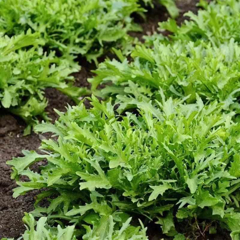 Рукола — вирощуємо середземноморський делікатес 4