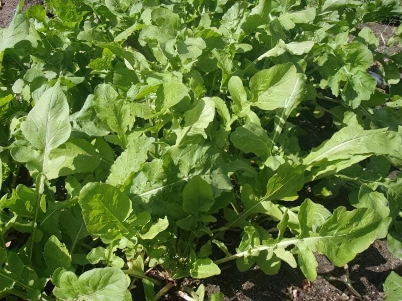 Рукола — вирощуємо середземноморський делікатес 5