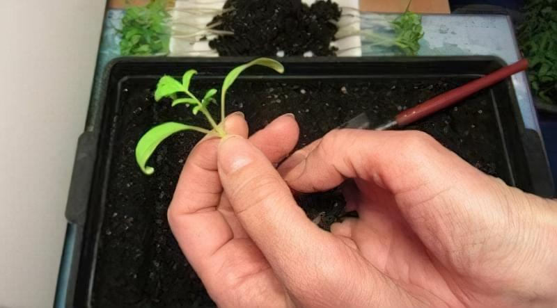 Що робити, якщо розсада томатів не росте: основні причини 3