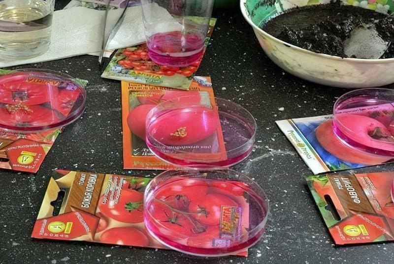 Обробка насіння помідорів різних сортів розчином марганцівки