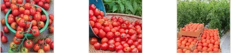 Що робити, якщо розсада томатів не росте: основні причини 5