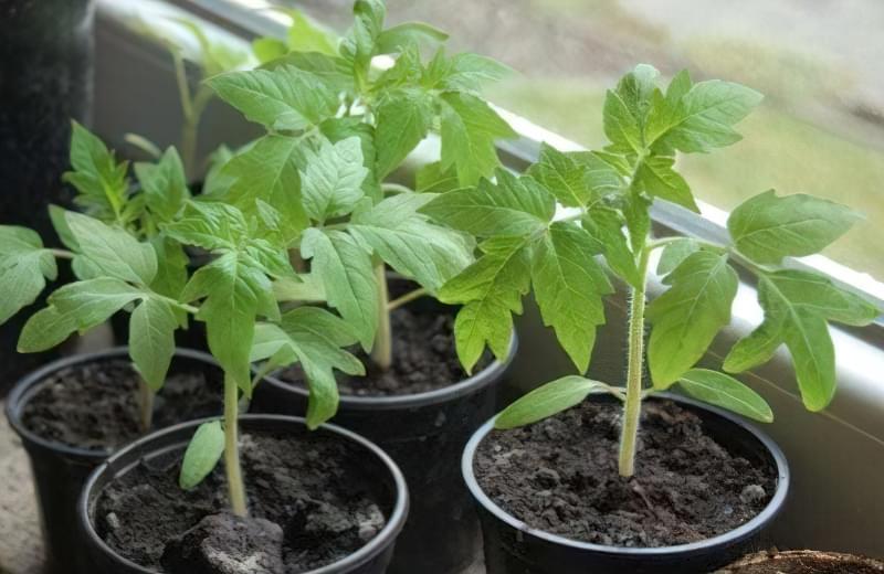 Що робити, якщо розсада томатів не росте: основні причини 1