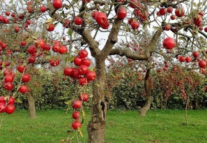 Восени краще прибирати старі гілки у дорослих яблунь