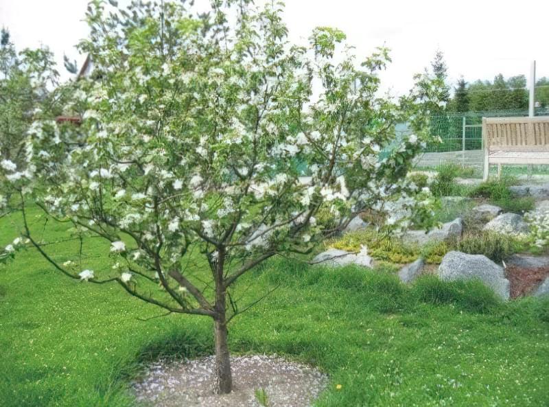 Ярусно – розріджений тип обрізування яблуні вважається найпростішим