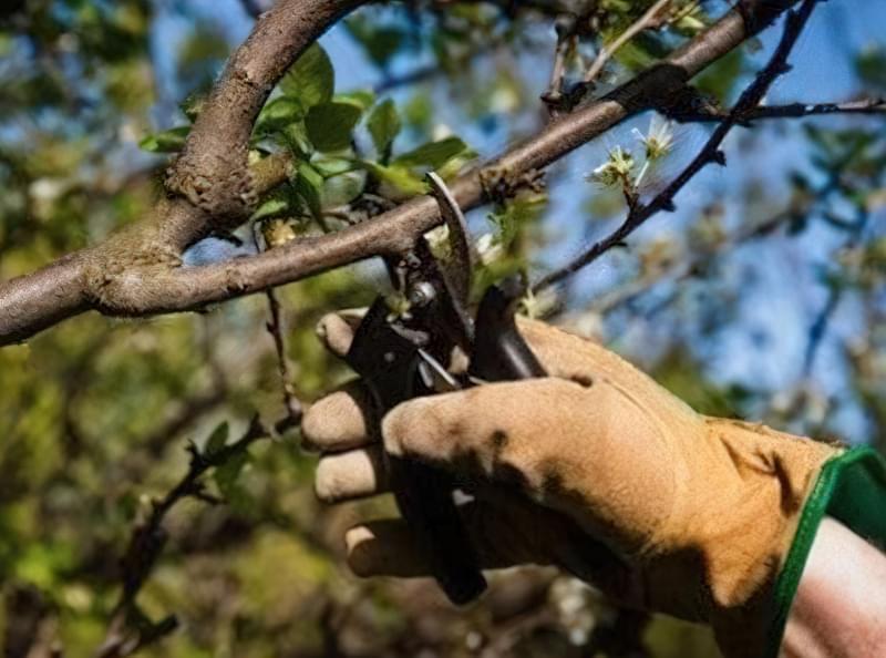 Обрізаючи яблуні не забувайте обробляти місця зрізів