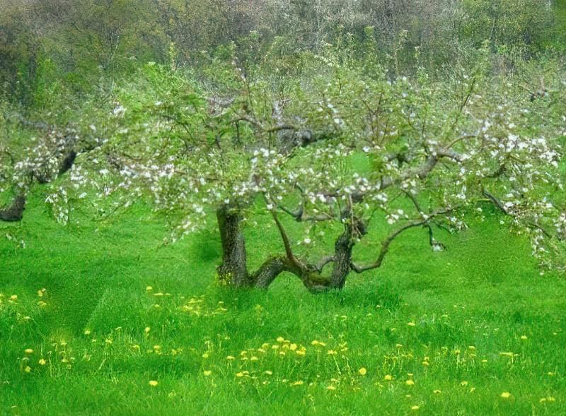 Крона яблуні формується протягом кількох років