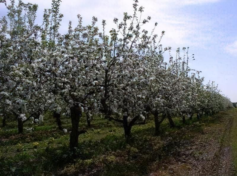 Схема і правила формування крони яблуні 1