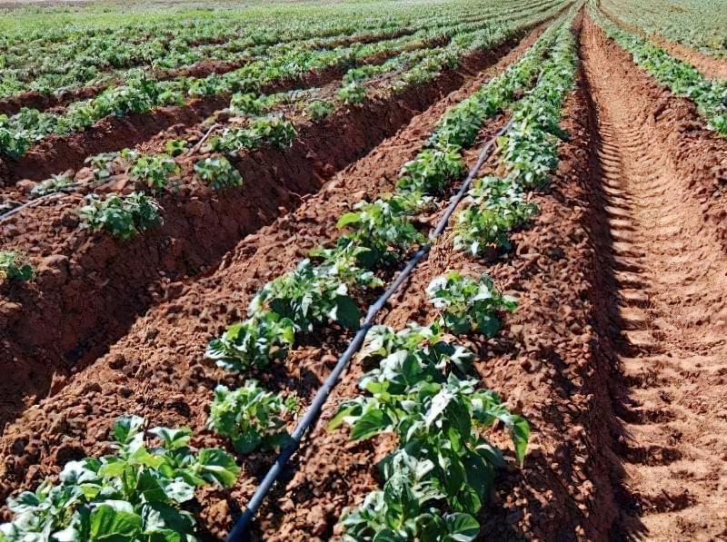 Голландський метод вирощування картоплі