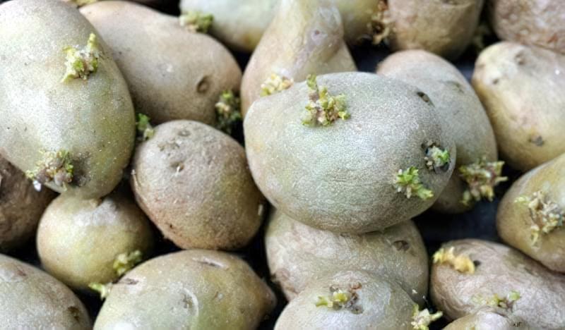 Бульби картоплі, підготовлені для вирощування