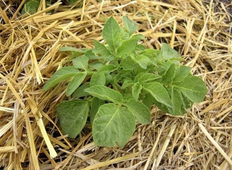Кущ картоплі під соломою