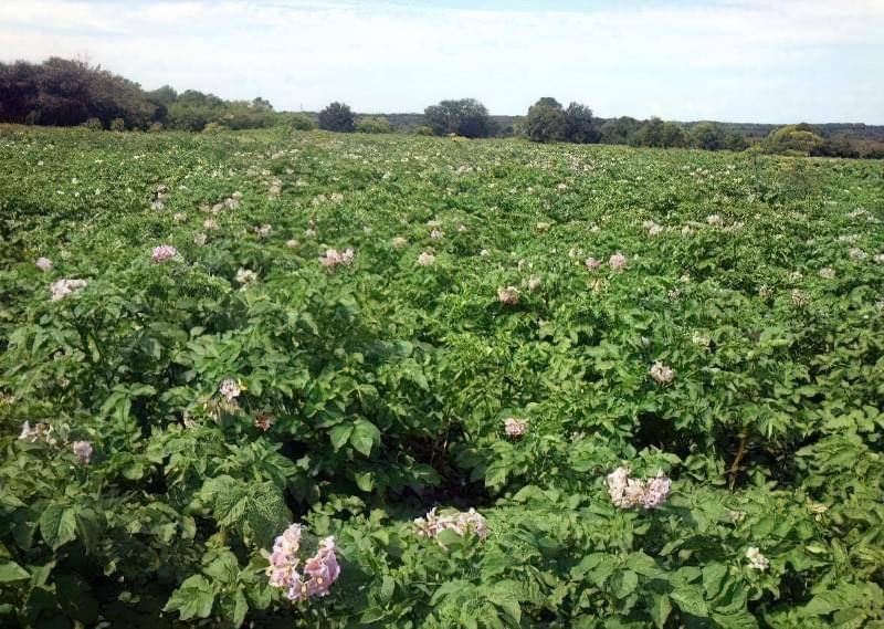 Технологія вирощування картоплі: методи і способи 1