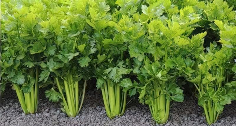 Посаджений овоч на городі