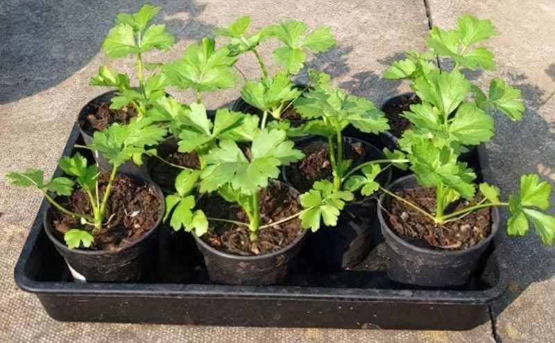 Вирощування селери з насіння: докладна інструкція 2