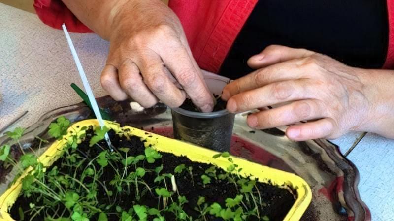 Пікірування розсади овочів