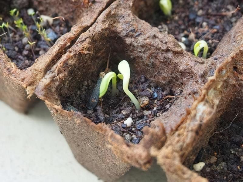 Вирощування жоржин з насіння 3