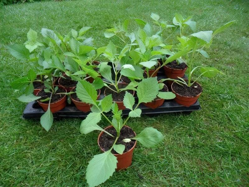 Вирощування жоржин з насіння 6