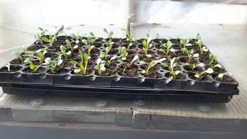 Вирощування жоржин з насіння 1