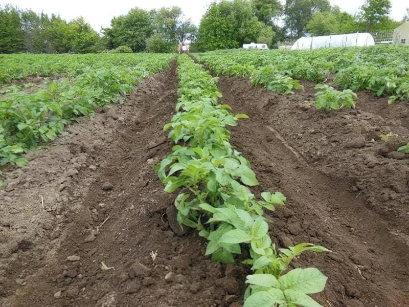 Як правильно підгортати картоплю? 3
