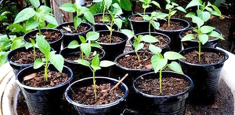 Як правильно вирощувати розсаду перцю в домашніх умовах? 7