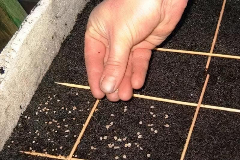 Прискорювачі росту використовуються до посадки насіння і безпосередньо під час зростання рослини