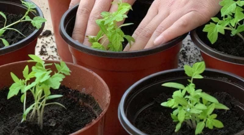 Удобрюючи грунт підгодівлею, розсада виросте значно швидше