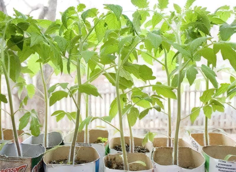 Як вибрати і застосовувати стимулятори росту для розсади томатів 1