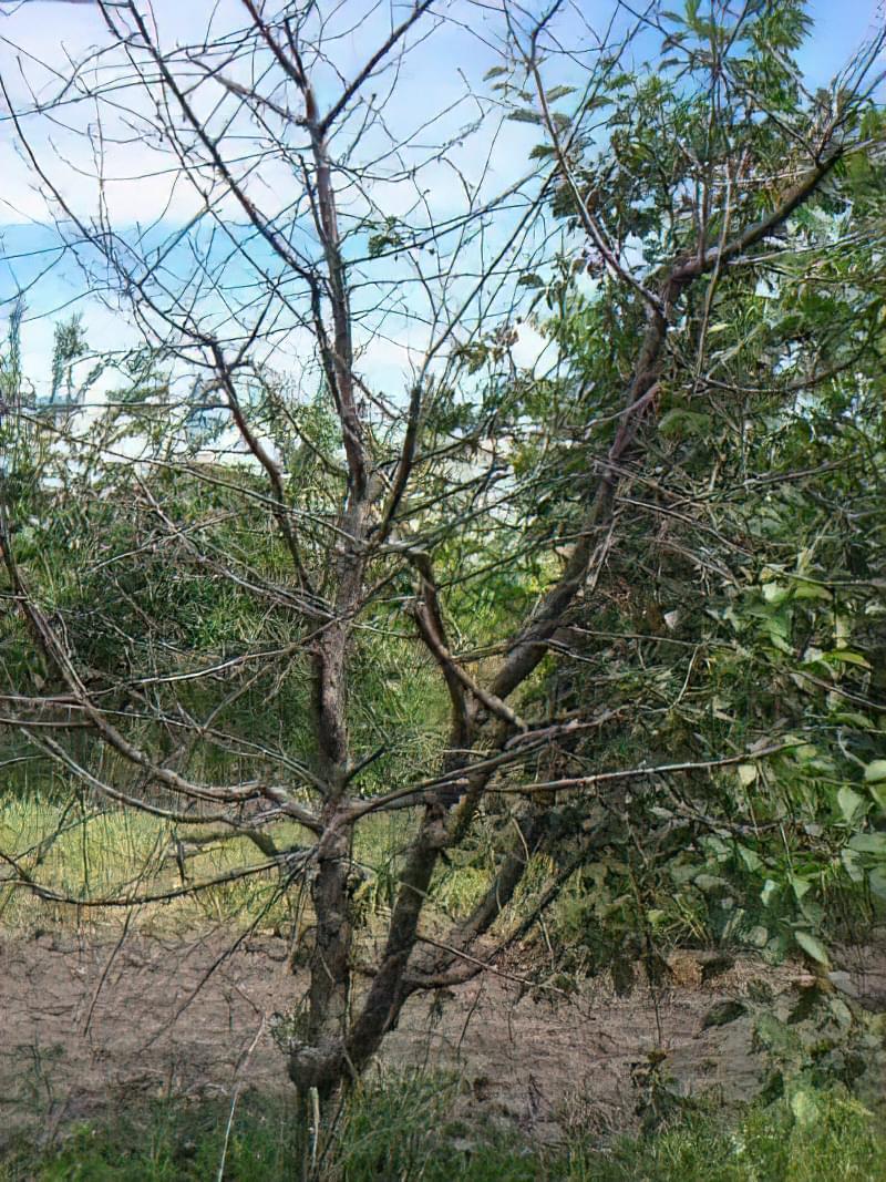 Що робити, якщо не плодоносить вишня? 3