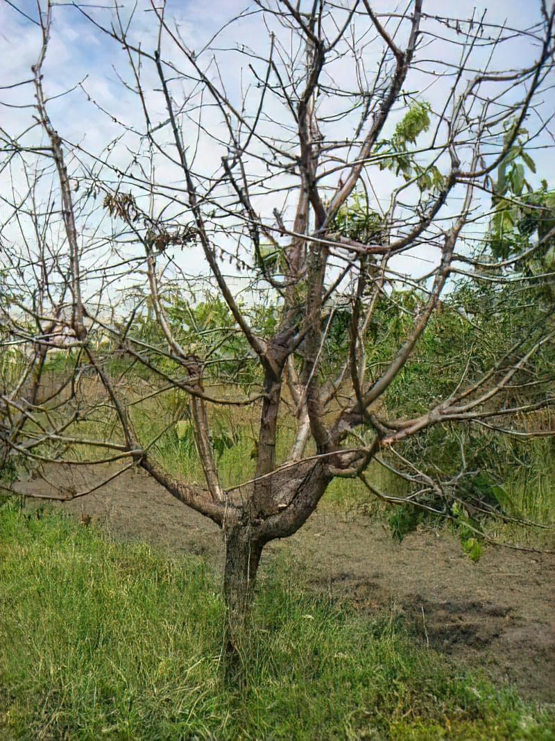 Що робити, якщо не плодоносить вишня? 4