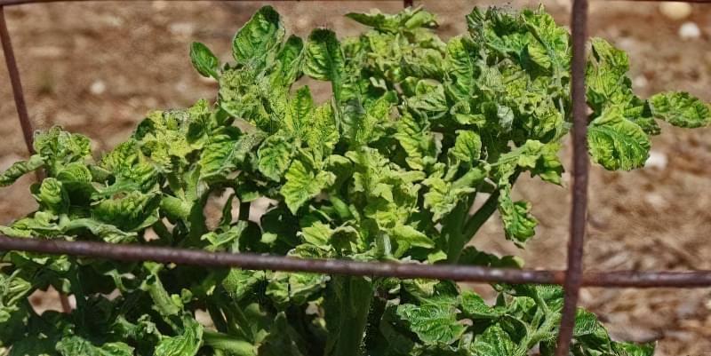 Чому скручується листя помідорів? 2