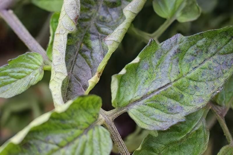 Чому скручується листя помідорів? 3