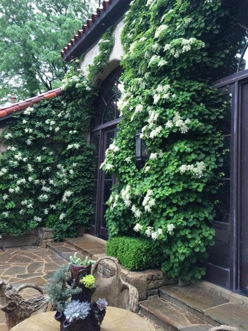 Найкращі рослини для вертикального озеленення 2