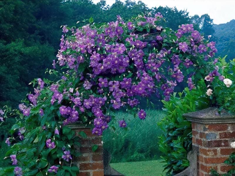 Найкращі рослини для вертикального озеленення 1