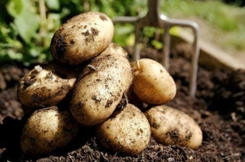 Часник на місці картоплі може захворіти фузаріозом