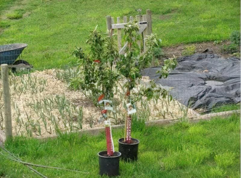 Однорічні саджанці яблуні для посадки