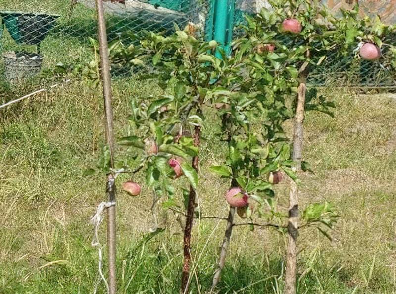Правила проведення пересадки яблуні навесні на нове місце 1