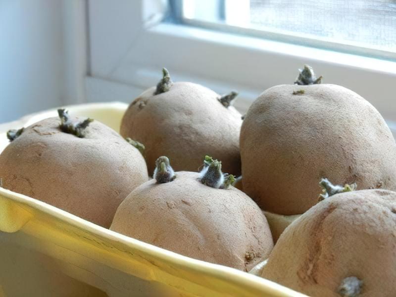 Пророщування та озеленення бульб картоплі