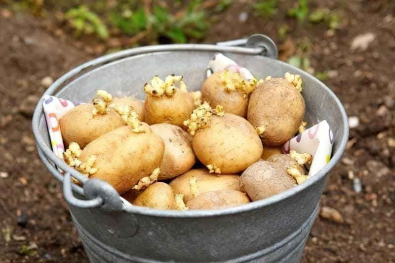 Правильна обробка картоплі перед посадкою 1