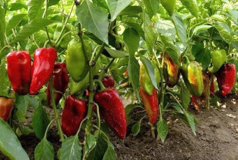 Сорти перцю для відкритого грунту, строки та особливості висадки розсади 2