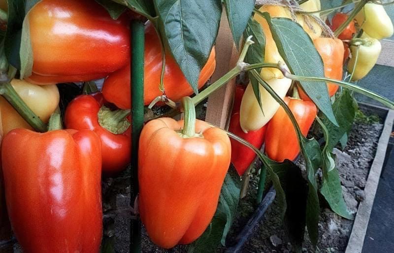 Сорти перцю для відкритого грунту, строки та особливості висадки розсади 14
