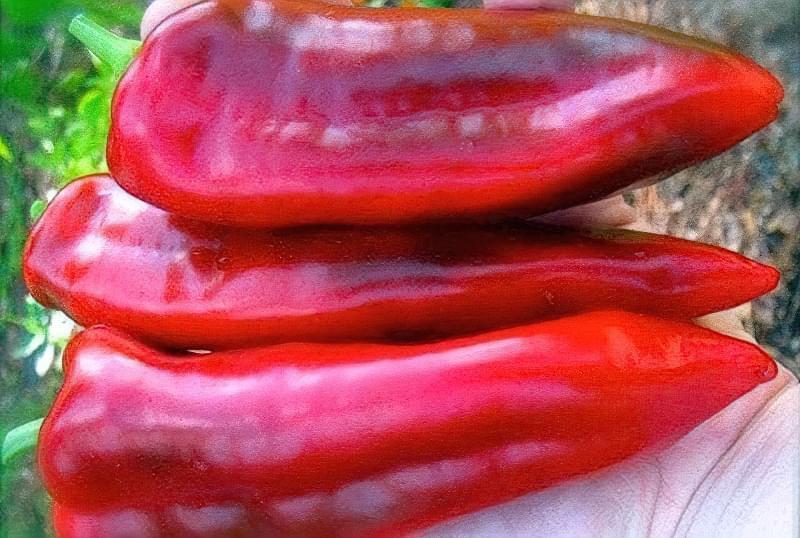 Сорти перцю для відкритого грунту, строки та особливості висадки розсади 15
