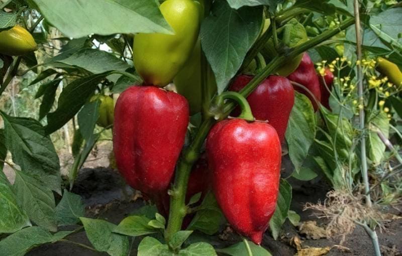 Сорти перцю для відкритого грунту, строки та особливості висадки розсади 16