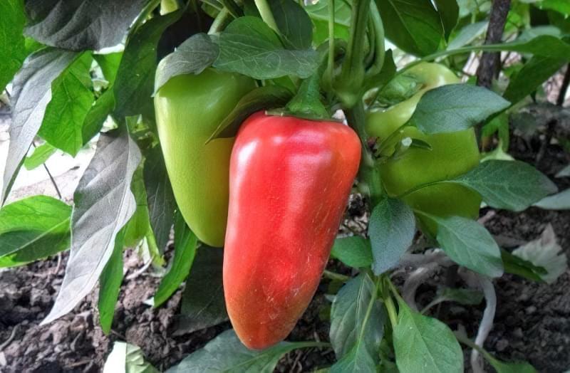 Сорти перцю для відкритого грунту, строки та особливості висадки розсади 3