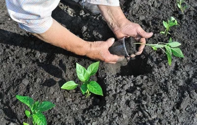 Сорти перцю для відкритого грунту, строки та особливості висадки розсади 20