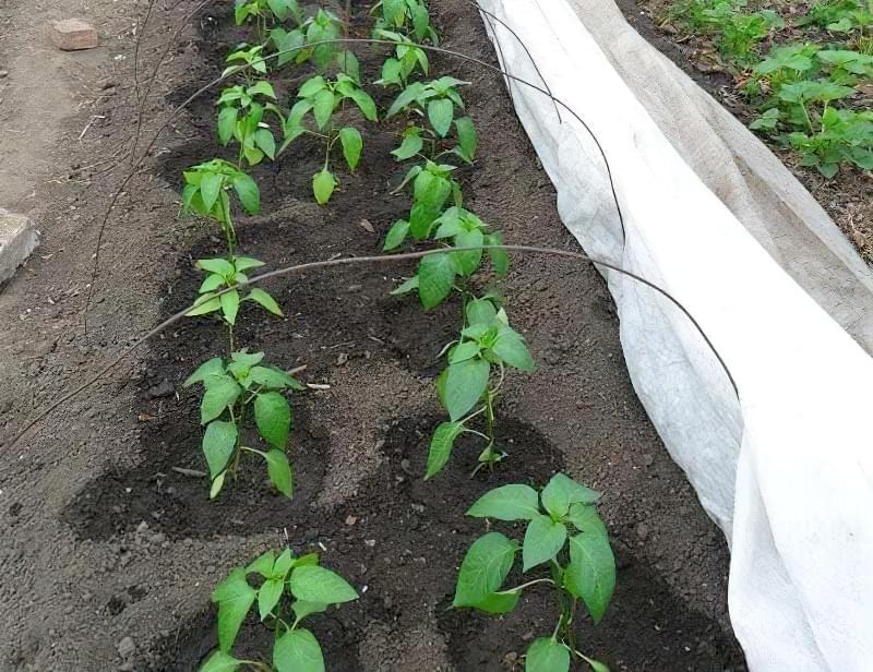 Сорти перцю для відкритого грунту, строки та особливості висадки розсади 21